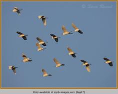 little-egret-47.jpg