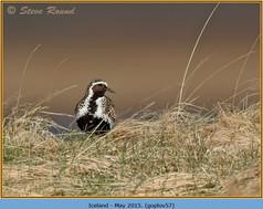 golden-plover-57.jpg