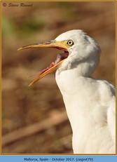 cattle-egret-79.jpg