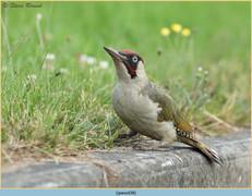 green-woodpecker-38.jpg