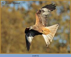red-kite-73.jpg