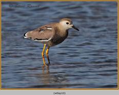 white-tailed-lapwing-10.jpg