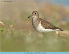 common-sandpiper-24.jpg