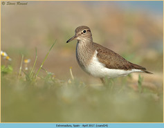 common-sandpiper-24.jpg