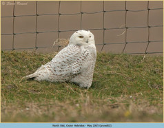 snowy-owl-02.jpg