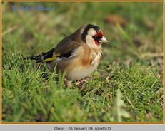 goldfinch-43.jpg