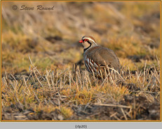 red-legged-partridge-20.jpg