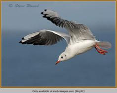 black-headed-gull-32.jpg