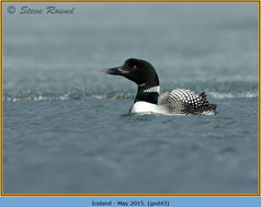 great-northern-diver-43.jpg
