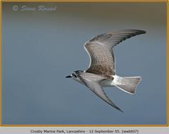white-winged-black-tern-07.jpg