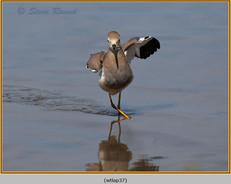 white-tailed-lapwing-37.jpg