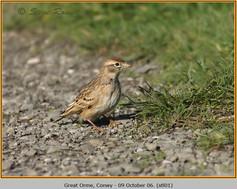 short-toed-lark-01.jpg