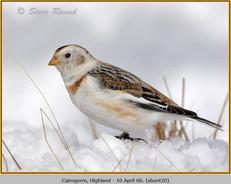 snow-bunting-20.jpg