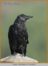 carrion-crow-19.jpg