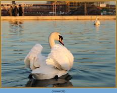mute-swan-36.jpg