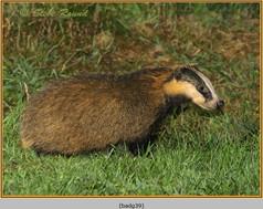 badger-39.jpg