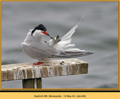 common-tern-08.jpg