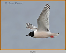little-gull-26.jpg