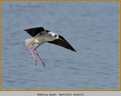 black-winged-stilt-37.jpg