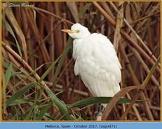 cattle-egret-71.jpg