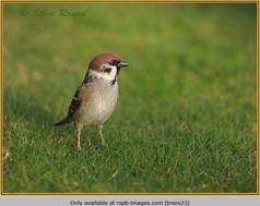 tree-sparrow-23.jpg