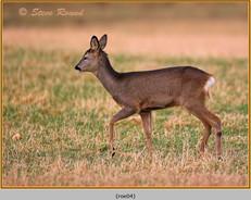 roe-deer-04.jpg