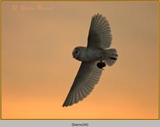 barn-owl-34.jpg