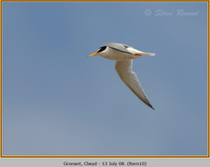 little-tern-10.jpg