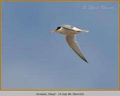 little-tern-10.jpg