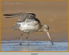 bar-tailed-godwit-21.jpg