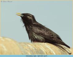 spotless-starling-17.jpg