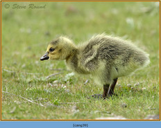canada-goose-39.jpg