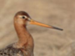 black-tailed godwit 01 (2).jpg