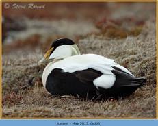eider-duck- 66.jpg