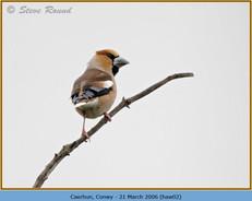 hawfinch-02.jpg