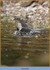 sparrowhawk-48.jpg