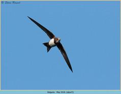alpine-swift-25.jpg