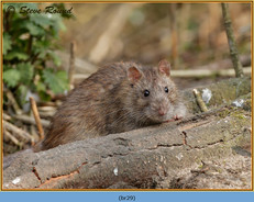 brown-rat-29.jpg