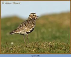 golden-plover-24.jpg