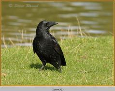 carrion-crow-22.jpg
