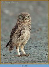 little-owl-39.jpg