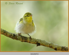 wood-warbler-51.jpg