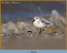 sanderling-55.jpg