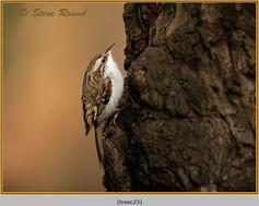treecreeper-23.jpg