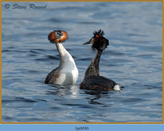 great-crested-grebe-59.jpg