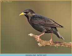 spotless-starling-11.jpg