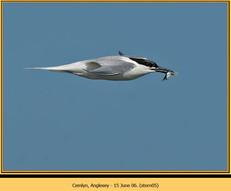 sandwich-tern-05.jpg