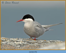 arctic-tern-70.jpg