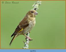 greenfinch-91.jpg