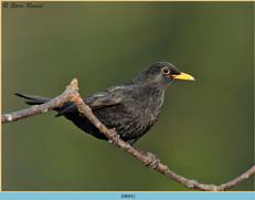 blackbird-91.jpg